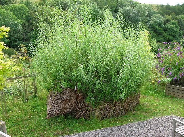 Living Willow